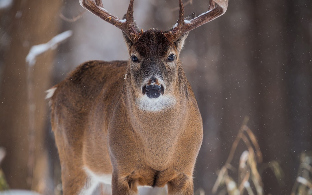 Intimidating Buck