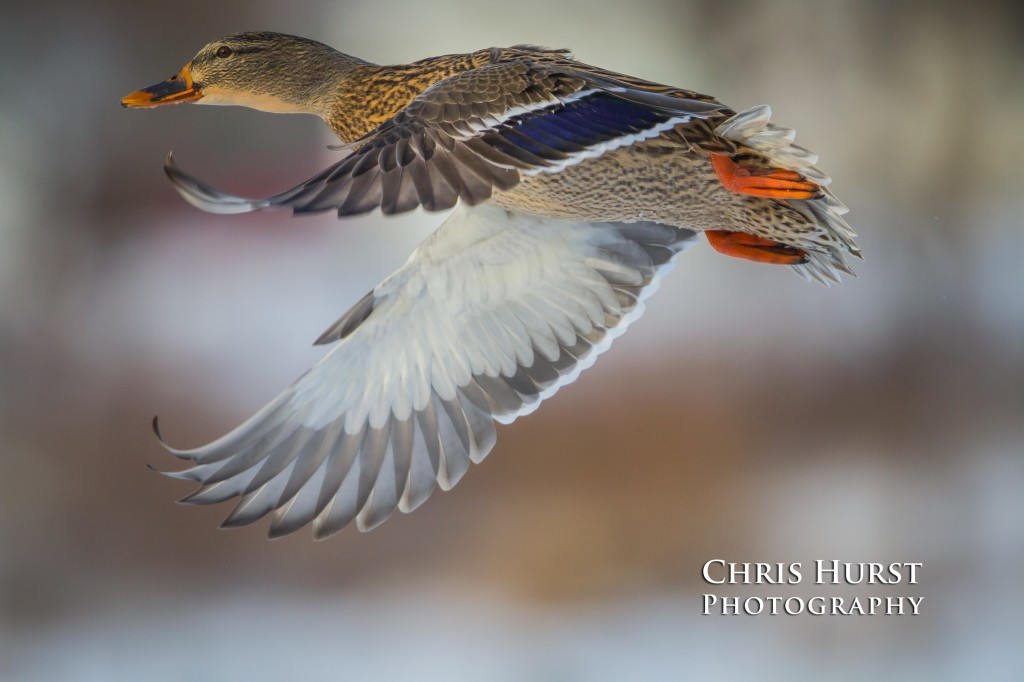Winter Hen Mallard