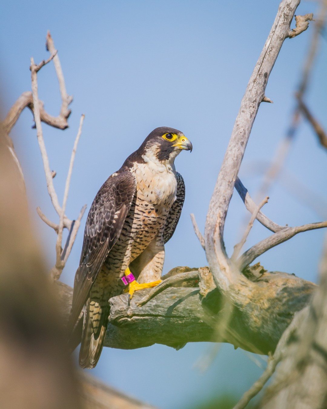 Mother Peregrine Falcon